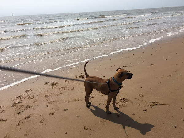 Pet sitter needed for Beautiful Boxer dog 15- 19 Feb 2017 in Frinton-On -Sea