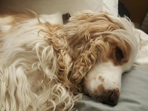 Spaniel lover required