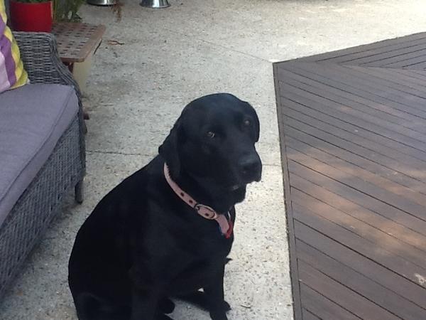 Pet sitter needed for gorgeous black 8 yr black labrador jan 2014