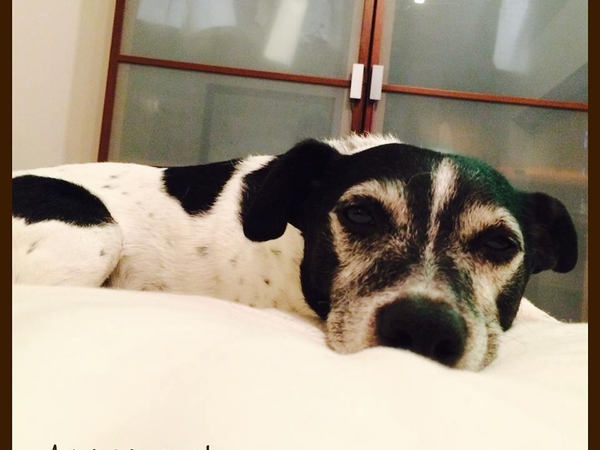 House sitter required for lovable Jack Russell