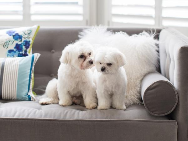 Experienced sitter for two Maltese terriers in Dorset