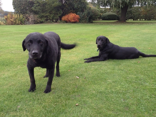 Fabulous barn conversion with a tennis court, on the edge of a village, with two black Labradors looking for a sitter.
