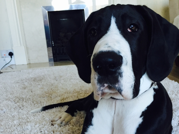 Pet sitter needed for my Great dane puppy this weekend 4-7th February 2016