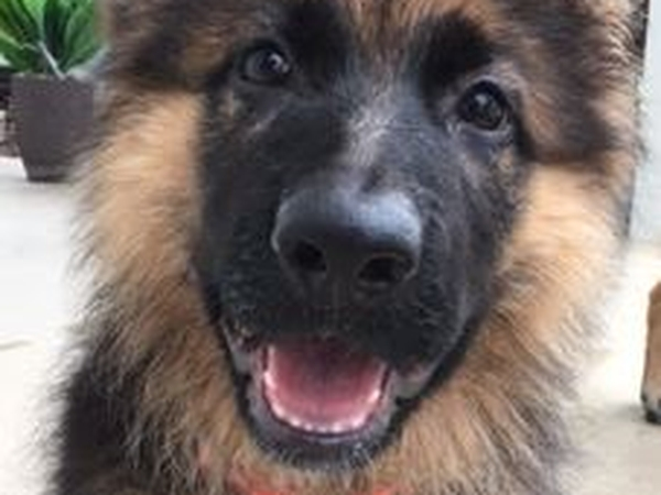 Sitter required in May 2016 for German Shepherd and 2 cats