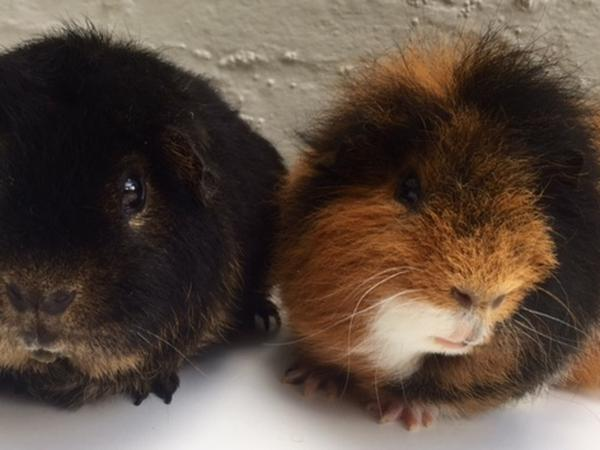 A house-sitter to look after 4 guinea pigs