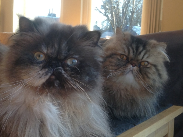 Reliable cat loving sitter required for pampered Persians