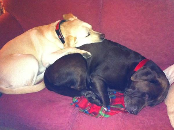 A pet sitter needed for my two incredibly loveable labradors, Harvey (chocolate) and Freddie (yellow).