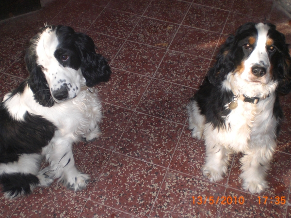 Dog sitter needed from January 21st to 26th for 2 gorgeous Cocker spaniels in large house with pool and garden half an hour from Carcassonne