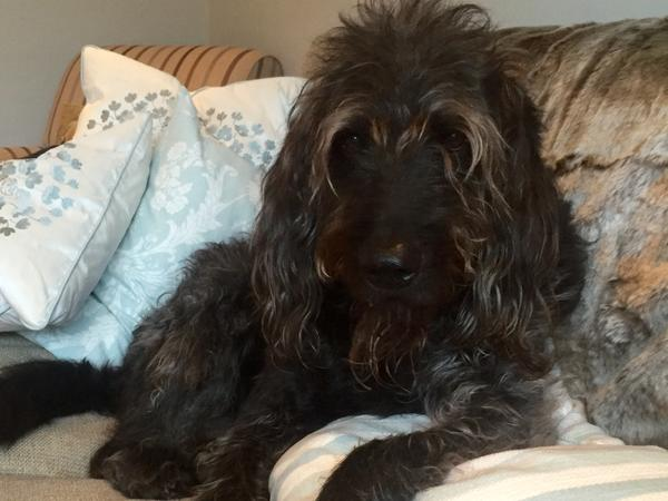 Petsitter required for our lovely Labradoodle and 4 friendly cats near London