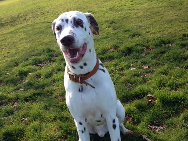 Sitter Needed for Loving Cat and Dalmatian 9th - 16th August 2015