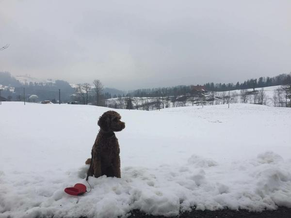 Reliable dog lover to look after our gorgeous labradoodle in beautiful Switzerland