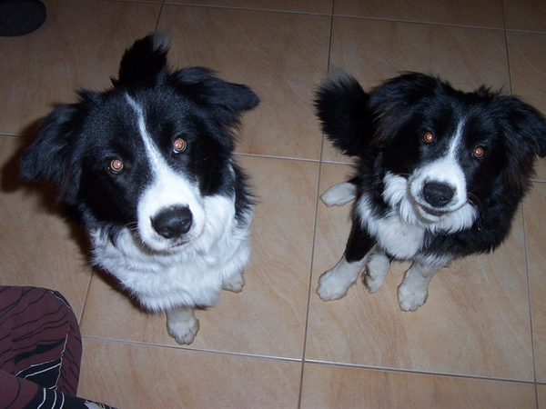 Sitter needed for 2 active border collies for 2 weeks