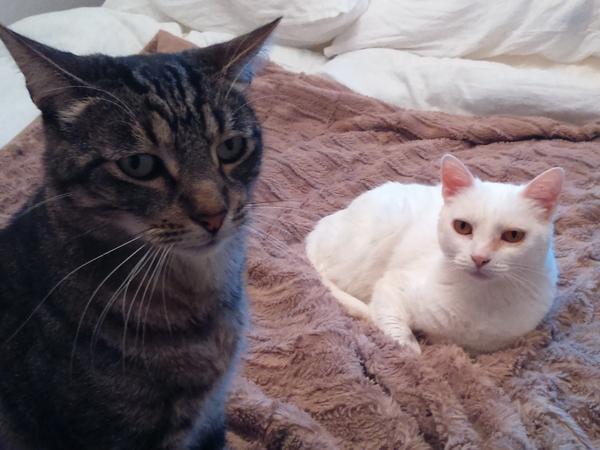 Housesitter needed for 3 cats