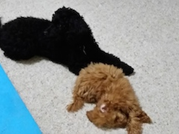 Pet Sitter to look after 2 toy / miniature poodles at our home in Bellbridge