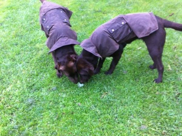 Two five year old chocolate labradors