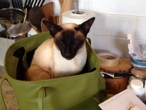 Very affectionate Siamese needs company, sometimes joined by a 5 year old Terrier.