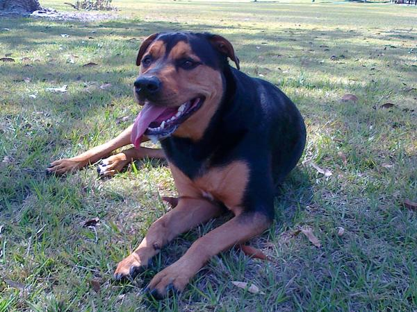 Pet sitter required for4 yr old rottie x