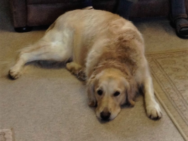 We are looking for someone to look after a lovely Golden Retriever in stunning Dartmouth 13 -26th June