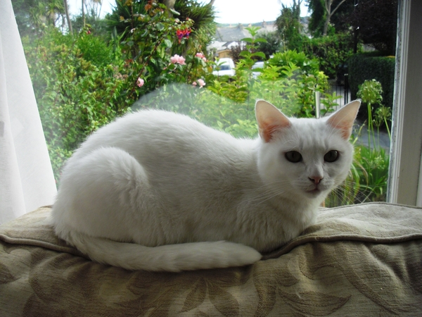 Snowy - very gentle domestic cat -  in Cornwall