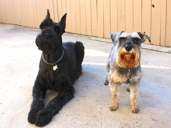 Pet sitter needed for a giant and mini schnauzer who love their walks