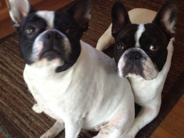 2 active French Bulldogs need a loving sitter for 6 weeks