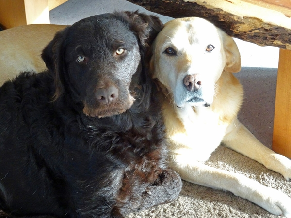 Pet Sitter needed for our two loved house dogs, both large, an older Labrador and year old Labradoodle.