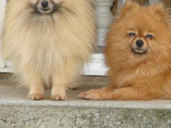 Dog sitter needed for our 6 pomeranians in Vendee, France