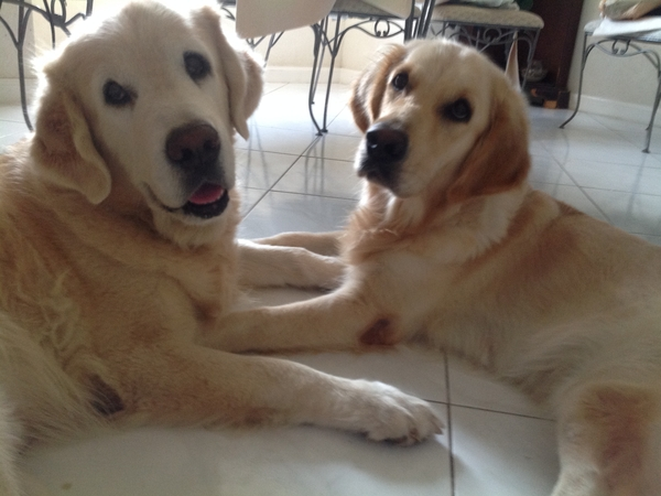 pet sitters required for my 2 beautiful golden retrievers in Barbados