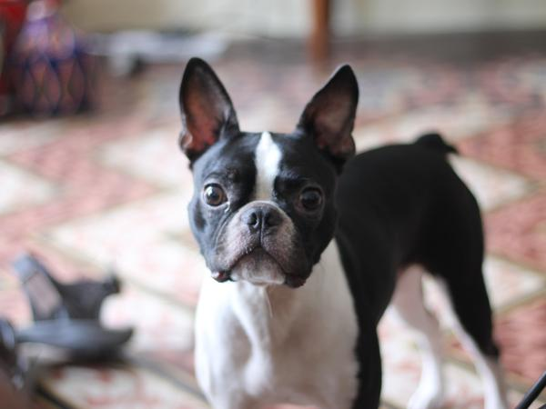 House sitter needed in Barcelona for young Boston Terrier