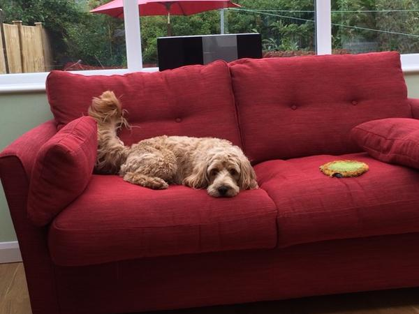 House sitter for gorgeous, fun loving cockapoo needed