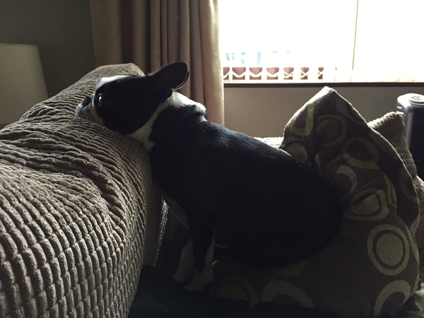 Pet sitter for my Boston Terrier for 2 weeks