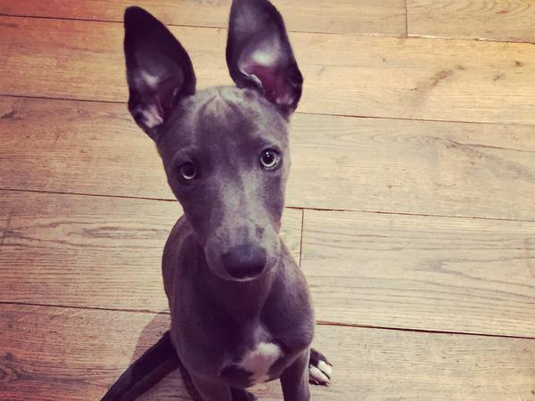 Dog sitter needed for our whippet ~ 2 weeks