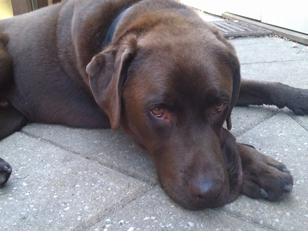 Charming chocolate labrador and family home requires looking after!
