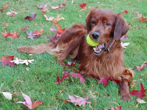 Pet sitter for very active Irish setter in Oxshott