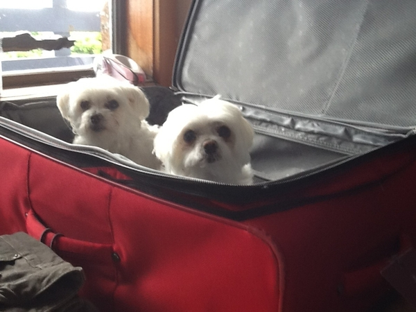 Pet sitter required to look after 2 very spoilt Maltese dogs and 3 chooks on a beautiful unspoiled Island for  one month from the 17th February.  House in magnificent  location  with 180 degree view of The Great Southern Ocean in the Bass Strait between  Melbourne and Tasmania