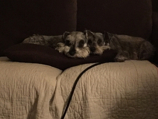 Schnauzers in Seattle