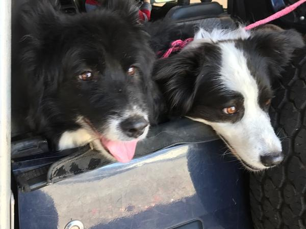 Pet sitter required for two  Border collies.