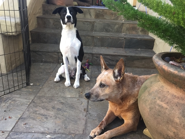 Craftsman Bungalow with two amazing Cattledogs