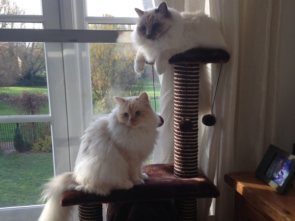 Pet sitter needed for 2 Birman cats