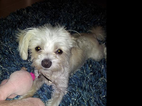 """House and pet sitter required in Caloundra for my little maltese cross """"Molly"""" from Monday 09/05/2016 and home on sunday 15/05/2016."""