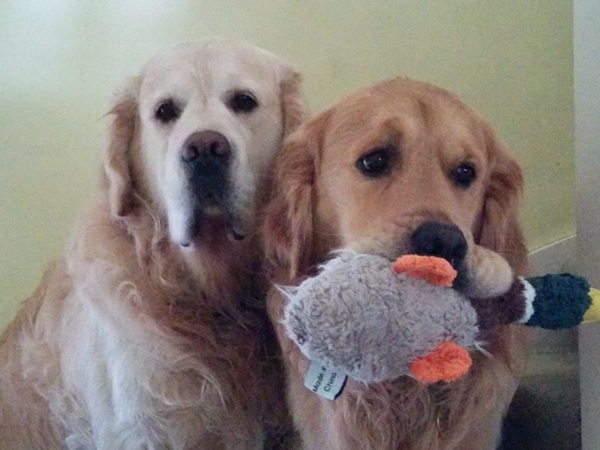 Pet sitting needed for two golden retrievers.