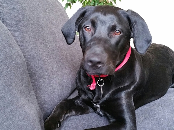 Pet sitter couple for our 1 year old gentle Labrador/X