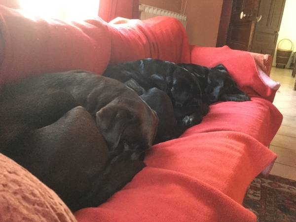 Pet sitter neeed for 3 labradors near Toulouse SW France