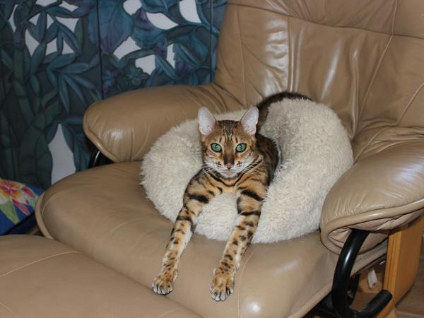 Pet sitter for 2 Bengal cats on Catalina Island