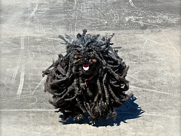 Pet sitter needed for my Puli for 2.5 weeks in Europe
