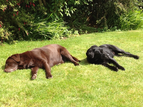 2 Labradors needing lots of love in a lovely 4 bedroom house.  Peaceful rural North Yorkshire awaits the right people.