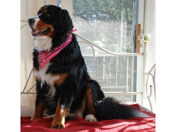 A pet sitter, single or couple, to care for Cleo, our Bernese Mountain Dog.