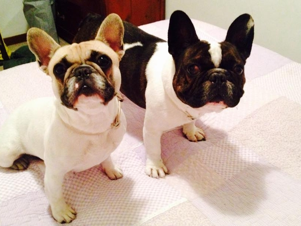 Pet sit in the centre of Rome for 2 adorable French bulldogs and a cat