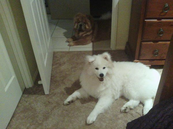 House and pet sitter needed for 2 dogs, samoyed and chow chow