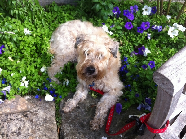 14 year old  Wheaten Terrier needs hugs and walks while mum is away